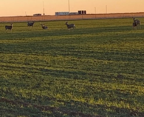 green farm field with deer on it
