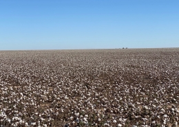 dirt farm field with cotton
