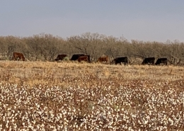 cotton in field with black cattle in the background