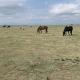 brown horses grazing on green grass